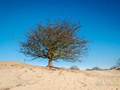 meidoorn-zandverstuiving