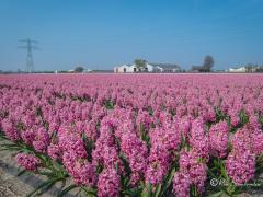 hyacinten-sassenheim
