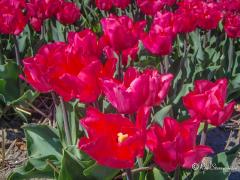 rode-tulpen