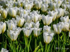 witte-tulpen