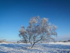 berkenboom-sneeuw-2