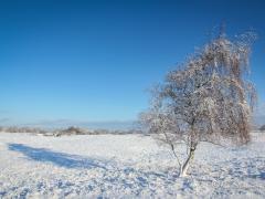berkenboom-sneeuw