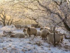 schapen-onder-takken